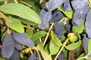 sibirska-borovnica-sadika